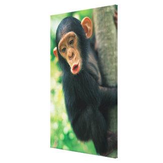 Jeune chimpanzé (troglodytes de casserole) toiles