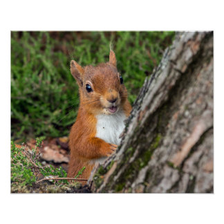 jeune écureuil rouge posters