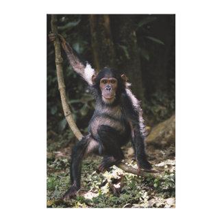 Jeune femelle de chimpanzé toiles