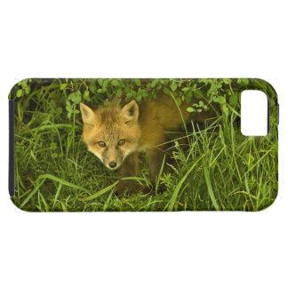 Jeune Fox rouge sortant de la dissimulation dans Coque Tough iPhone 5