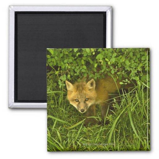 Jeune Fox rouge sortant de la dissimulation dans l Aimants Pour Réfrigérateur