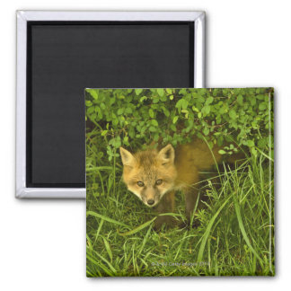 Jeune Fox rouge sortant de la dissimulation dans l Magnet Carré