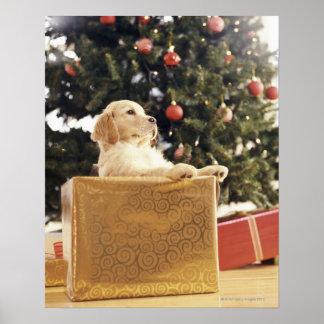 Jeune Labrador se penchant un cadeau de Noël Affiches