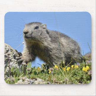 Jeune marmotte alpine tapis de souris