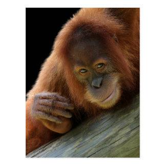 Jeune orang-outan amusé carte postale