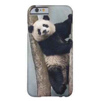 Jeune panda grimpant à un arbre, Chine Coque Barely There iPhone 6
