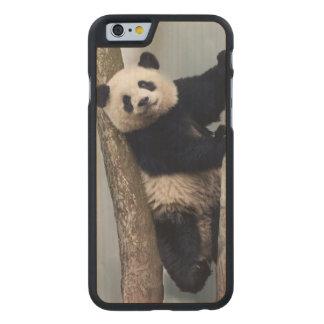Jeune panda grimpant à un arbre, Chine Coque Carved® Slim iPhone 6 En Érable
