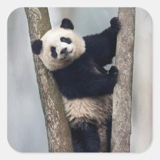 Jeune panda grimpant à un arbre, Chine Sticker Carré