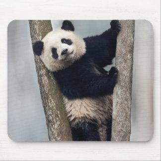Jeune panda grimpant à un arbre, Chine Tapis De Souris