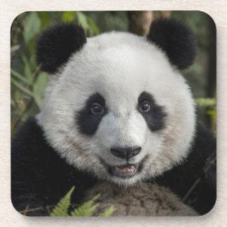 Jeune panda heureux, Chine Sous-bock