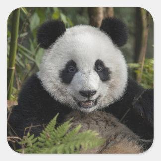 Jeune panda heureux, Chine Sticker Carré