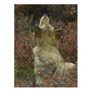 Jeune reniflement vigilant de loup gris (lupus de carte postale
