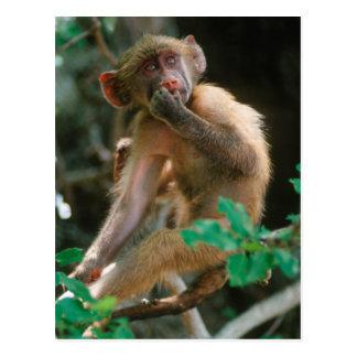 Jeune séance de babouin de Chacma (Papio Ursinus) Carte Postale