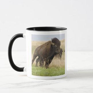Jeune taureau de bison de Fiesty chez le Tallgrass Tasses