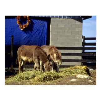 Jeunes ânes carte postale