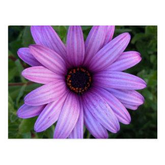 Jolie carte postale de fleur d'aster