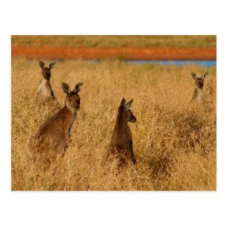 Kangourous gris occidentaux carte postale