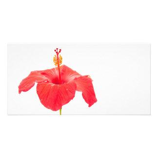 ketmie rouge sur la carte postale blanche carte avec photo
