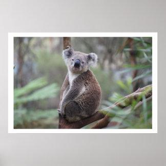 Koala dans l'arbre affiche