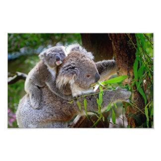 Koala mignons tirage photo