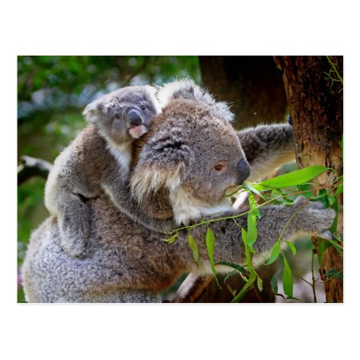 Koala mignons carte postale