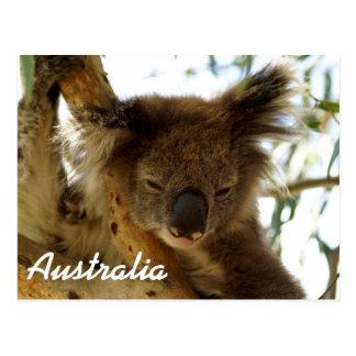 Koala sauvage dormant sur l'arbre d'eucalyptus, cartes postales