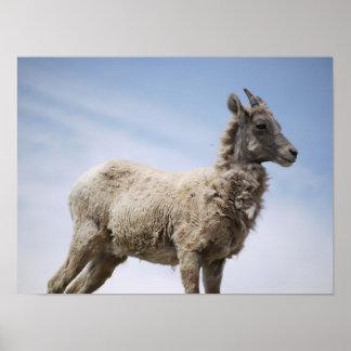 La chèvre de montagne puissante posters