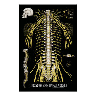 La chiropractie d'épine et de nerfs rachidiens poster