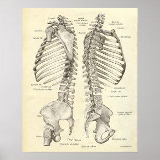 La copie vintage d'anatomie désosse la colonne ver posters
