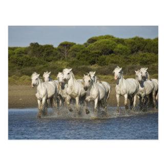 La France, Camargue. Chevaux courus par l'estuaire Carte Postale