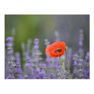 La France, Provence. Pavot solitaire dans le Carte Postale