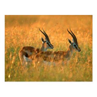 La gazelle de Thomson (Gazella Thomsonii) à l'aube Carte Postale