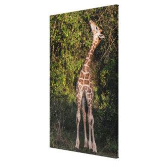 La girafe atteignant jusqu'à mangent toile