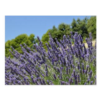 La lavande fleurit dans le domaine à l'été, cartes postales