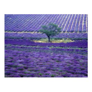 La lavande met en place, Vence, Provence, France Carte Postale