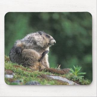 la marmotte blanchie, caligata de Marmota, raye Tapis De Souris