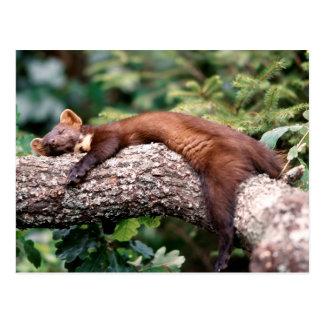 La martre d'arbre dort sur la branche, carte postale