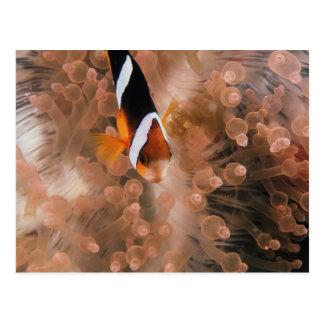 La Micronésie, Palaos, Anemonefish Carte Postale