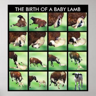 La naissance d'un agneau de bébé posters