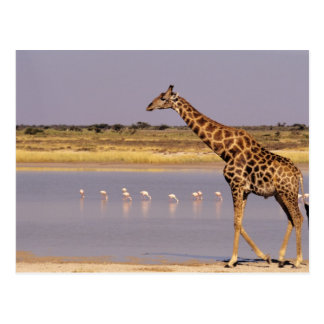 La Namibie : Parc national d'Etosha Carte Postale