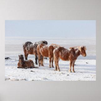 La neige a couvert les chevaux islandais poster
