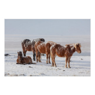 La neige a couvert les chevaux islandais posters