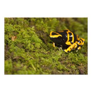 La PA centrale, Etats-Unis, gaffent la grenouille  Impressions Photographiques