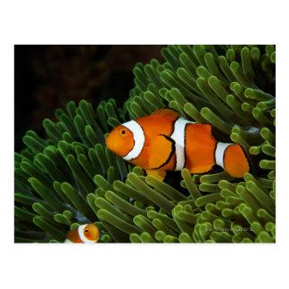 La Papouasie-Nouvelle-Guinée, anemonefish faux de Carte Postale