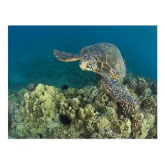 La tortue de mer verte, (des mydas de Chelonia), Carte Postale