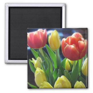 La tulipe rouge et jaune romantique fleurit l'aima magnets