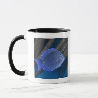 La vie sous-marine : Coeruleus d'Acanthurus avec Mugs