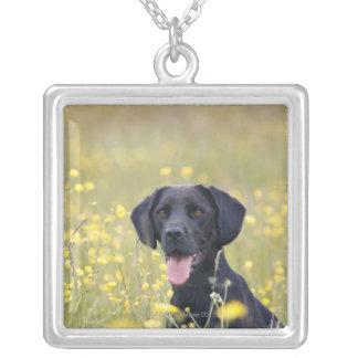 Labrador noir 16 mois collier