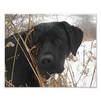 Labrador noir - chasse de fin de saison impressions photo