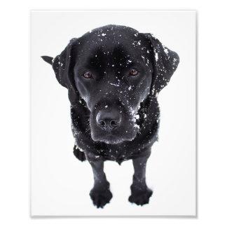Labrador noir - chien de neige photographie